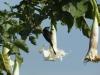 Rwanda - Trompetenbaum